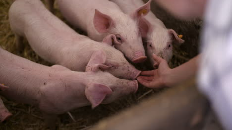 Pigs-On-Livestock-Farm-Pig-Farming-Young-Piglets-At-Stable-26