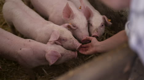 Pigs-On-Livestock-Farm-Pig-Farming-Young-Piglets-At-Stable-27