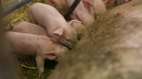 Pigs-On-Livestock-Farm-Pig-Farming-Young-Piglets-At-Stable-32