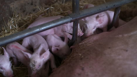 Pigs-On-Livestock-Farm-Pig-Farming-Young-Piglets-At-Stable-38