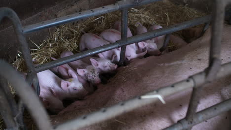 Pigs-On-Livestock-Farm-Pig-Farming-Young-Piglets-At-Stable-41