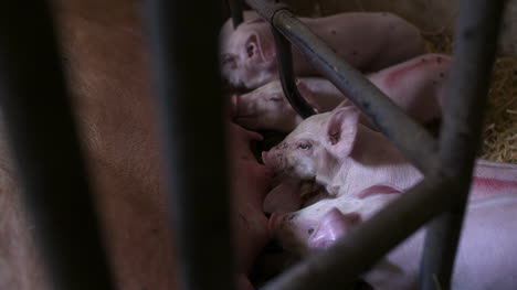 Pigs-On-Livestock-Farm-Pig-Farming-Young-Piglets-At-Stable-43