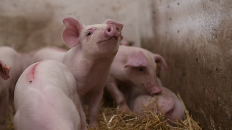 Pigs-On-Livestock-Farm-Pig-Farming-Young-Piglets-At-Stable-52