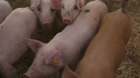 Pigs-On-Livestock-Farm-Pig-Farming-Young-Piglets-At-Stable-59