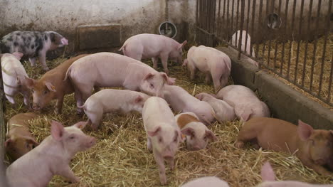 Pigs-Piglets-On-Livestock-Farm-12