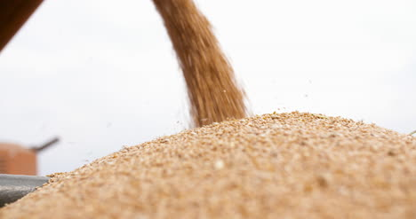 Close-Up-Of-Harvested-Wheat-Grains-Agriculture-Harvesting-Wheat-Agriculture