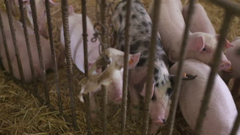 Pigs-Piglets-On-Livestock-Farm-22