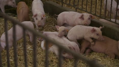 Pigs-Piglets-On-Livestock-Farm-3
