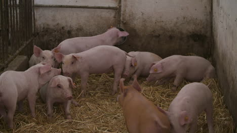 Pigs-Piglets-On-Livestock-Farm-8
