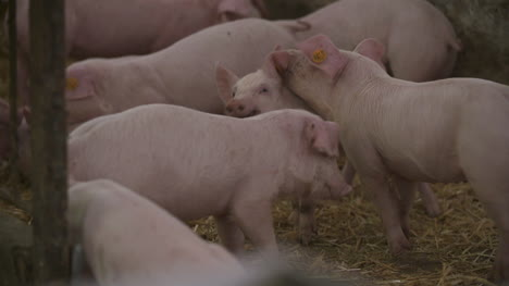 Pigs-Piglets-On-Livestock-Farm-14