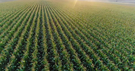 Aerial-View-Of-Growing-Corn-On-Agriculture-Field-1