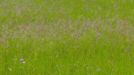 Slowmotion-Of-Long-Grass-Mowing-On-Wind-At-Meadow-In-Summer