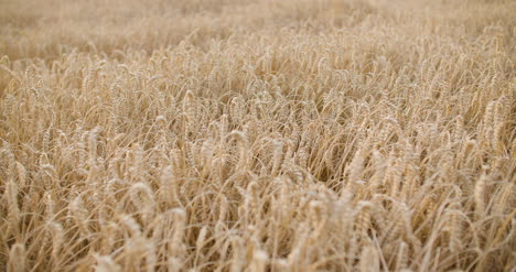 Flying-Over-Wheat-Field-Agriculture-1
