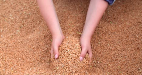 Farmer-Examining-Wheat-Grains-In-Hands-2