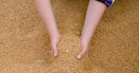 Wheat-Grains-In-Farmer-Hands-Agriculture-5
