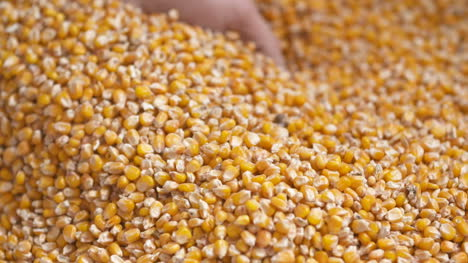 Freshly-Harvested-Maize-Corn-Grains-Agriculture-Background-Corn-Harvesting
