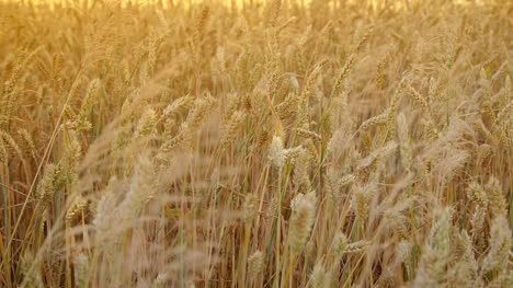 Ears-Of-Wheat-At-Dawn