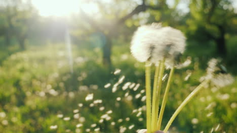 Play-With-Dandelions-The-Seeds-Fly-In-The-Wind-Enjoy-The-Spring-Concept
