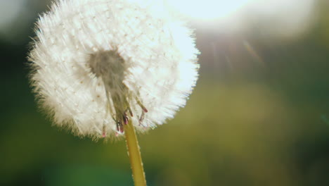 Blowing-On-A-Dandelion-Flower-Close-Up