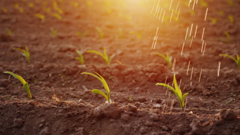 Water-Jets-Water-Young-Shoots-On-The-Field-At-Sunset-With-Beautiful-Glare-Irrigation-And-Irrigation-
