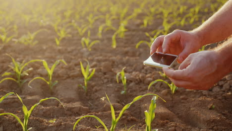 The-Farmer-Pictures-Shoots-Of-Young-Corn-On-The-Field-Uses-Smartphone-In-The-Frame-Are-Visible-Only-