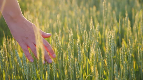 The-Hand-Of-An-Young-Woman-Looks-At-The-Spikelets-Of-Green-Wheat-Beautiful-Glare-Of-The-Sun-Organic-