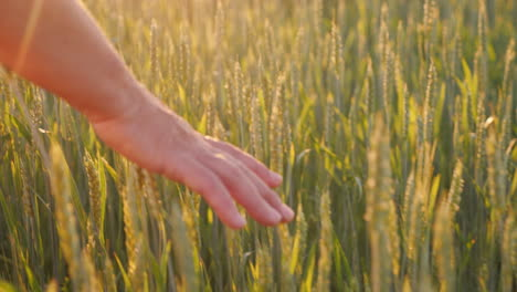 The-Hand-Of-An-Elderly-Woman-Looks-At-The-Spikelets-Of-Green-Wheat-Beautiful-Glare-Of-The-Sun-Organi