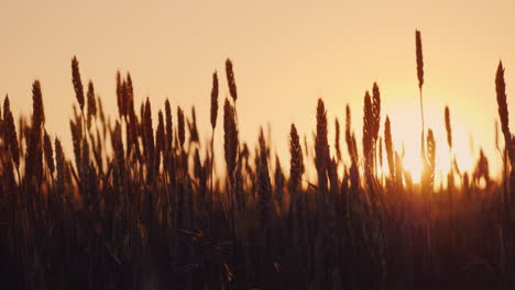 Wheat-Ears-Sway-In-The-Rays-Of-The-Setting-Sun-Organic-Farming-4K-Slow-Motion-Video