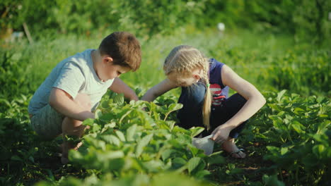 Two-Children-Gather-Fresh-Strawberries-In-The-Garden-Eco-Friendly-Products-With-A-Farm-Concept-4K-Vi