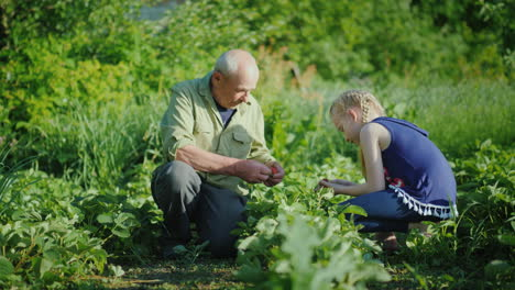 Grandfather-And-Granddaughter-Together-Collect-Strawberries-In-The-Garden-Communication-Of-Generatio