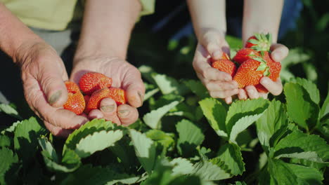 The-Hands-Of-The-Elderly-Man-And-The-Girls-Next-To-Him-Hold-A-Ripe-Strawberry-The-Harvest-Of-Organic