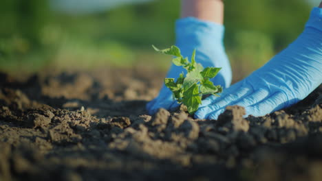 Plant-A-Tomato-Seedlings-In-The-Ground-Hands-Gently-Press-The-Ground-Around-The-Young-Sprout-4K-Vide