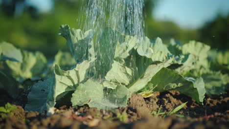 Water-Jets-Pour-Cabbage-In-The-Garden-4K-Video