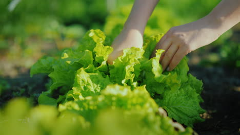 Fresh-Vegetables-From-Their-Beds-Female-Hands-Tear-Off-Lettuce-Leaves-Fresh-And-Organic-Farm-Product