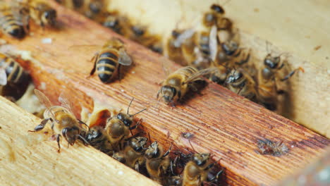 Life-Inside-A-Bee-Hive-Bees-Work-On-Frames-With-Honey-Macro-Shot