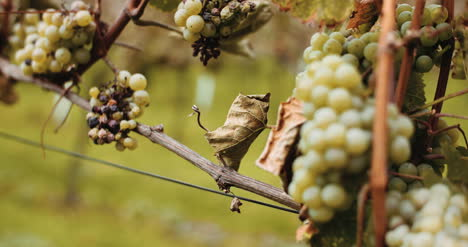 Ripe-Grapes-Vineyard-Autumn-Wine-Production