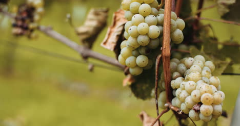 Ripe-Grapes-Vineyard-Autumn-Wine-Production-1