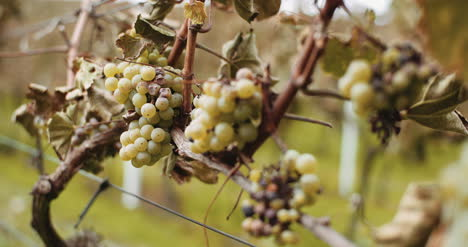 Ripe-Grapes-Vineyard-Autumn-Wine-Production-2