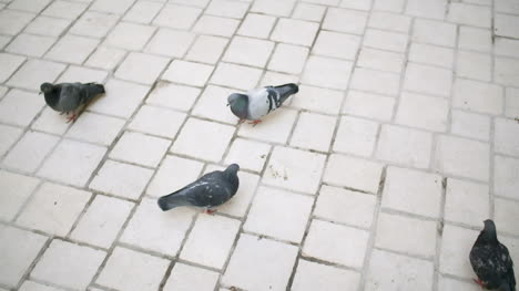 Flock-Of-Pigeons-Eating-Bread-On-Town-Square