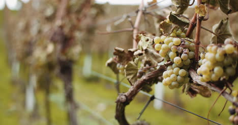 Ripe-Grapes-Vineyard-Autumn-Wine-Production-4