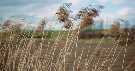 Tall-Grasses-Waving-In-The-Wind