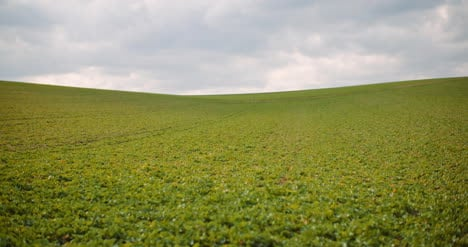 Young-Rape-Growing-In-The-Field-Agriculture-Cultivation-4