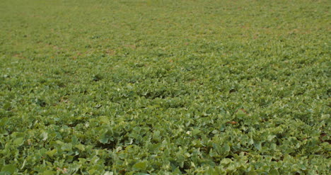 Young-Rape-Growing-In-The-Field-Agriculture-Cultivation-7