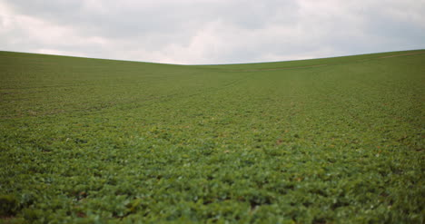 Young-Rape-Growing-In-The-Field-Agriculture-Cultivation-9