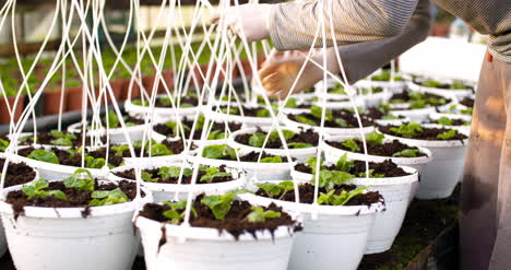 Male-Botanist-Clipping-Straps-On-Pots-3