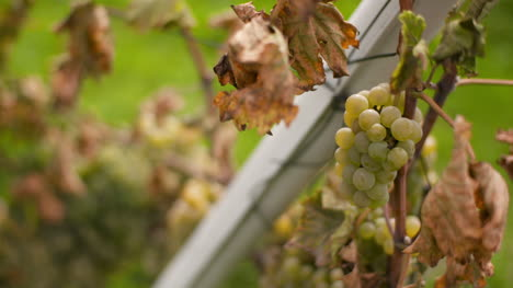 Bunch-Of-Grapes-On-Vineyard-At-Vine-Production-Farm