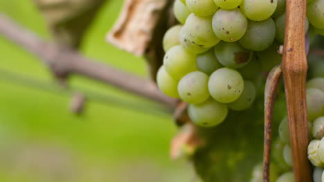 Bunch-Of-Grapes-On-Vineyard-At-Vine-Production-Farm-1