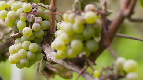 Bunch-Of-Grapes-On-Vineyard-At-Vine-Production-Farm-2