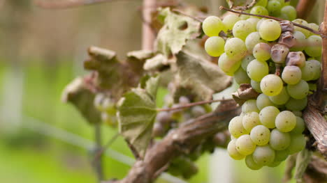 Bunch-Of-Grapes-On-Vineyard-At-Vine-Production-Farm-3