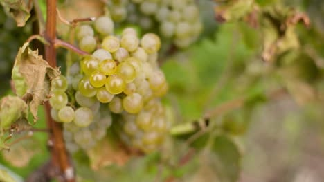 Bunch-Of-Grapes-On-Vineyard-At-Vine-Production-Farm-4